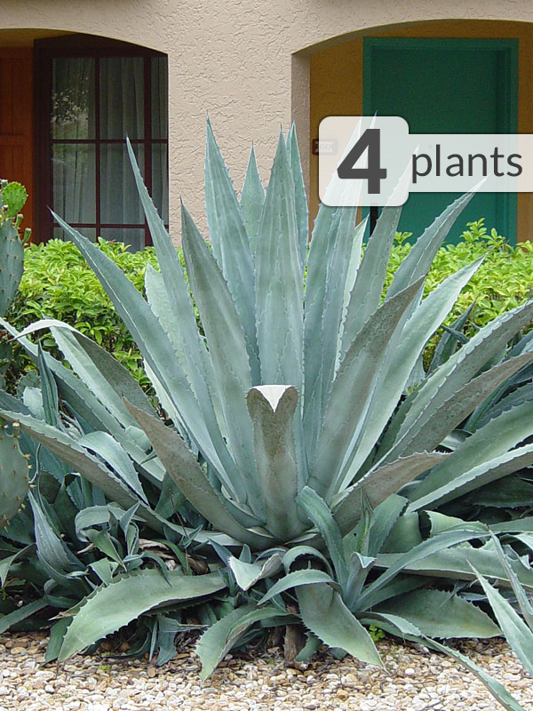 4 Xl Agave Americana Steel Blue Plants Kens Nursery