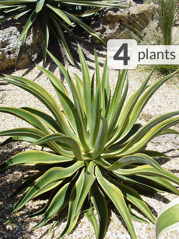 4 Spineless Agave Desmettiana Variegated Jade Plants Kens Nursery