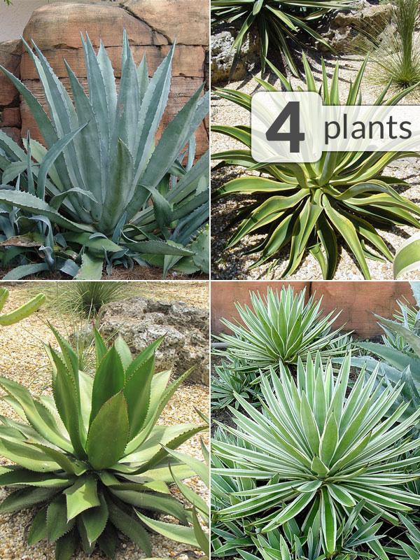 Xl 4 Agave Plant Collector Mix Kens Nursery