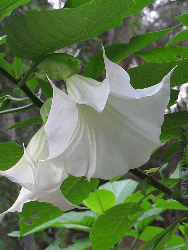 4 Fuzzy Snow Ball White Angel Trumpet Plants Kens Nursery