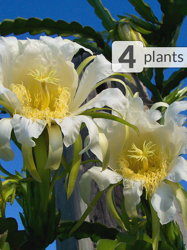 4 White Night Blooming Cereus Plants Tree Wrap Pkg Kens Nursery