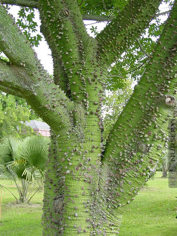 *Rare Exotic* Pink Tree of thorns Silk Floss Tree Fresh Seeds From Canada