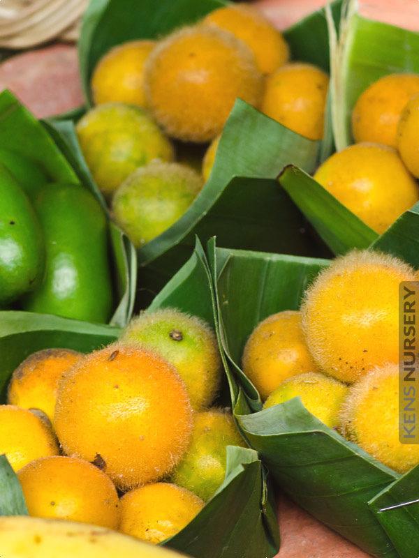 Sweet Lemon Drop Mangosteen Garcinia Intermedia