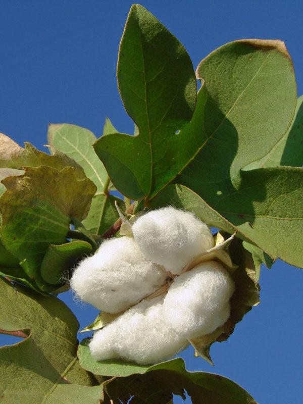 Upland Cotton Mexican Cotton 15 seeds Gossypium hirsutum