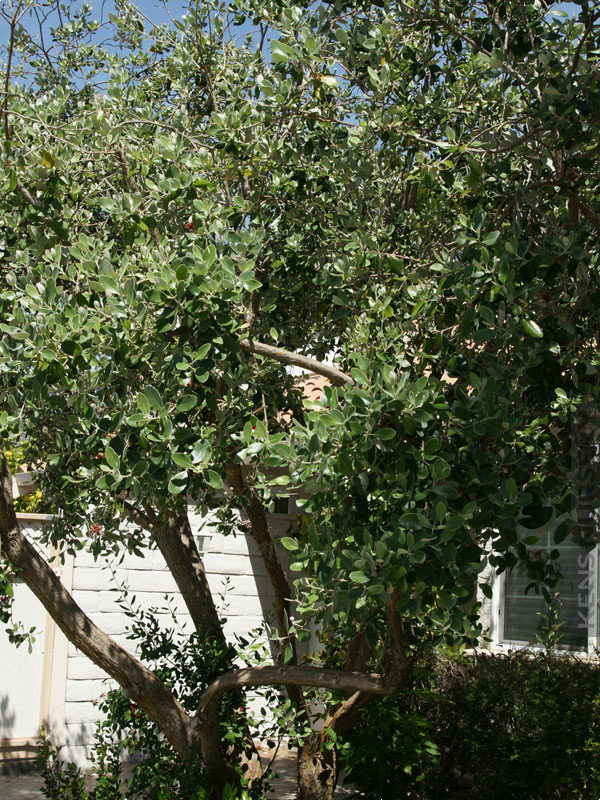 4 Cold Hardy Pinele Guava Trees Landscapers Pkg