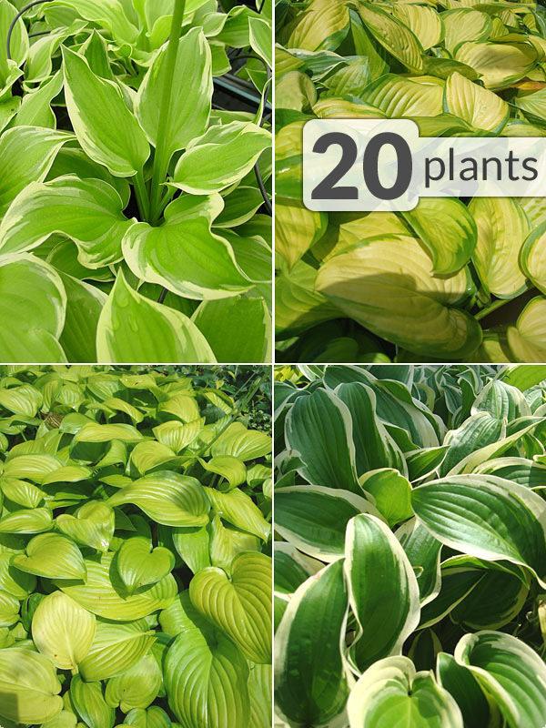 20 Hosta Plants Patio Border Mix Kens Nursery