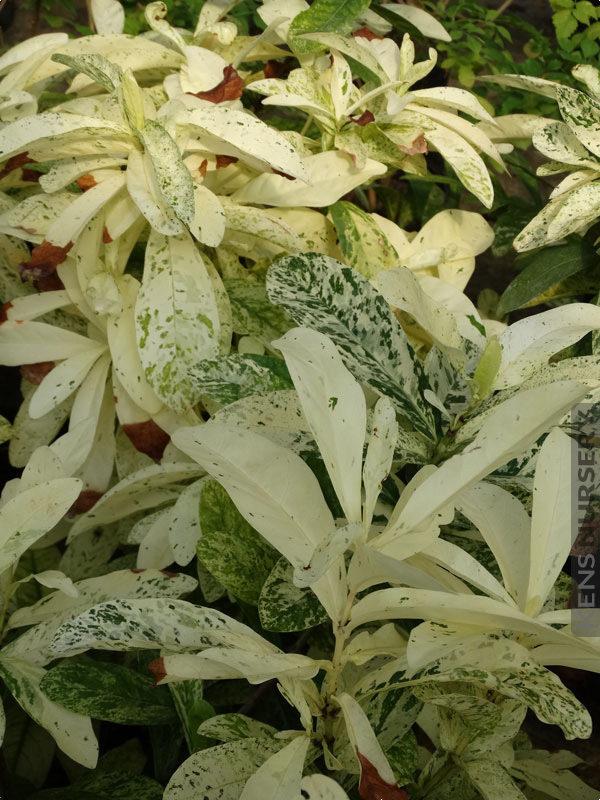 Rarely Offered Large Leaf Ixora Thai Snow