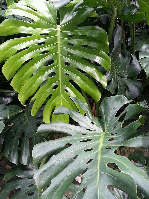 XL Leaf Plugs