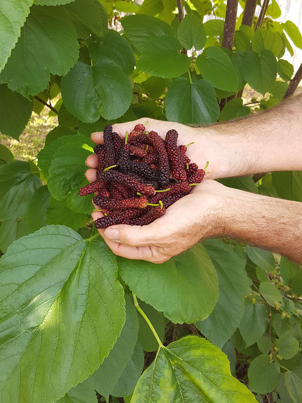 East Coast Foot Long Mulberry Tree