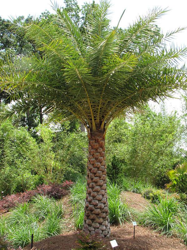Indian Date Palm Tree Phoenix