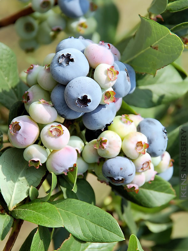 Best For Planters Top Hat Northern Blueberry Kens Nursery